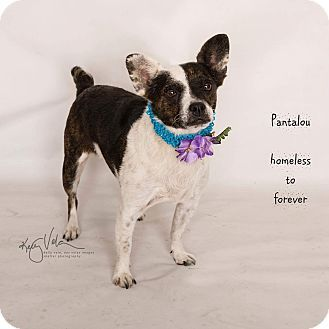 Pictures Of Pantalou A Bull Terrier X2f Pug Mix For Adoption In