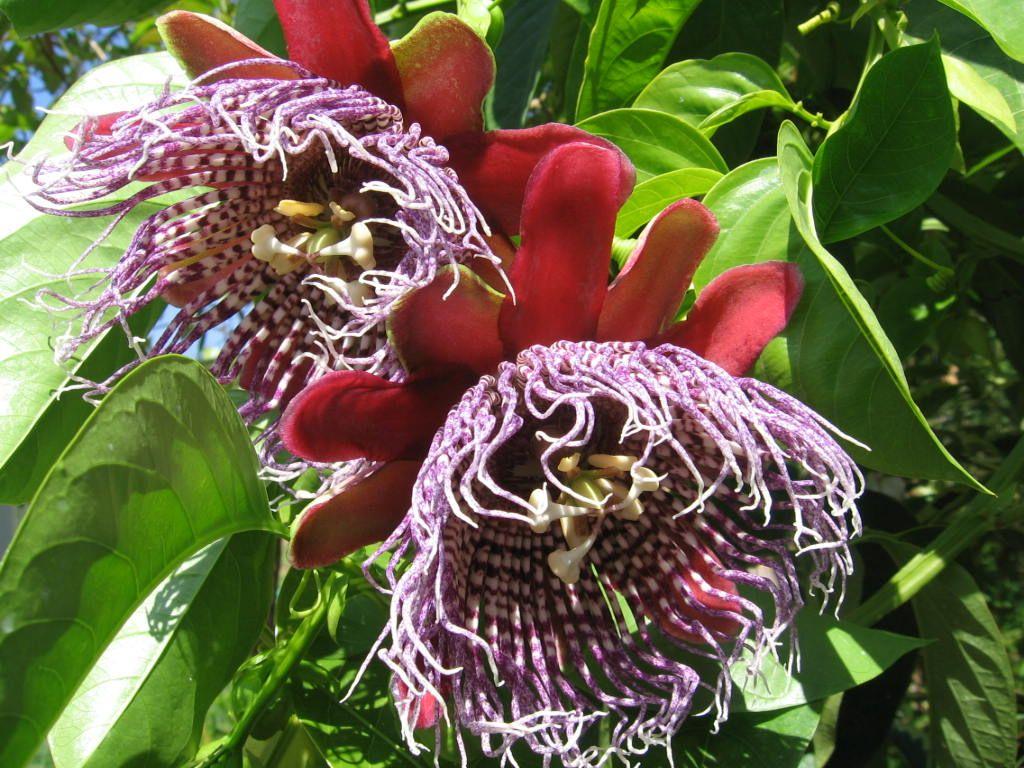 6aff0c5c5 Passiflora Purple Tiger Fiore Della Passione