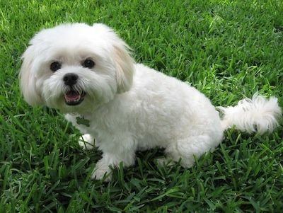 Mia The Maltese Lhasa Apso Mix At About 5 Years Old Lhasa Apso