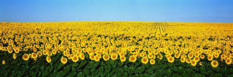 Sunflower Field, North Dakota, USA Valokuvavedos tekijänä Panoramic Images AllPosters.fi-sivustossa