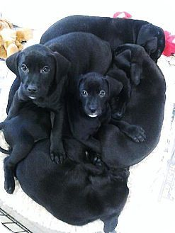 Pet Not Found Puppy Adoption Labrador Retriever Mix Labrador Retriever