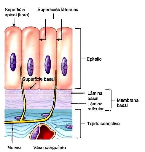 Tejido epiteliar | resúmenes lindo | Pinterest | Tejido, Anatomía y ...