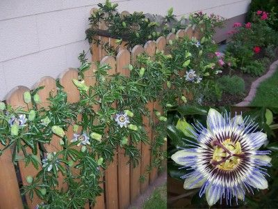 Passiflora Caerulea For Against The Fence Passion Flower Passiflora Caerulea Vine Trellis