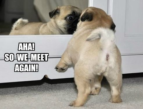 Aha So We Meet Again So Funny Funny Pug Dog Pugs Funny