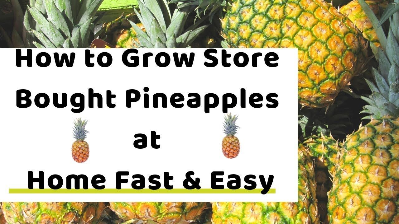 How to grow store bought pineapples at home fast and easy