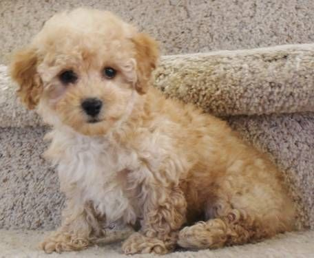 Apricot Toy Poodle Poodle Puppy Toy Apricot Female Shots