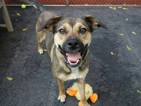 SAFE --- SUPER URGENT - 09/16/14 Manhattan Center   LACY - A1007255  *** LEGAL HOLD RELEASED *** NH ONLY ***  FEMALE, BROWN / BLACK, GERM SHEPHERD MIX, 2 yrs SEIZED - ONHOLDHERE, HOLD FOR LEGAL Reason CRUELTY  Intake condition NONE Intake Date 07/18/2014, From NY 10473, DueOut Date 07/21/2014,   https://www.facebook.com/photo.php?fbid=873917702621110