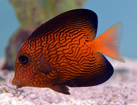 Featured Fish On Sale This Week Saltwater Fish Tanks Salt Water Fish Fish