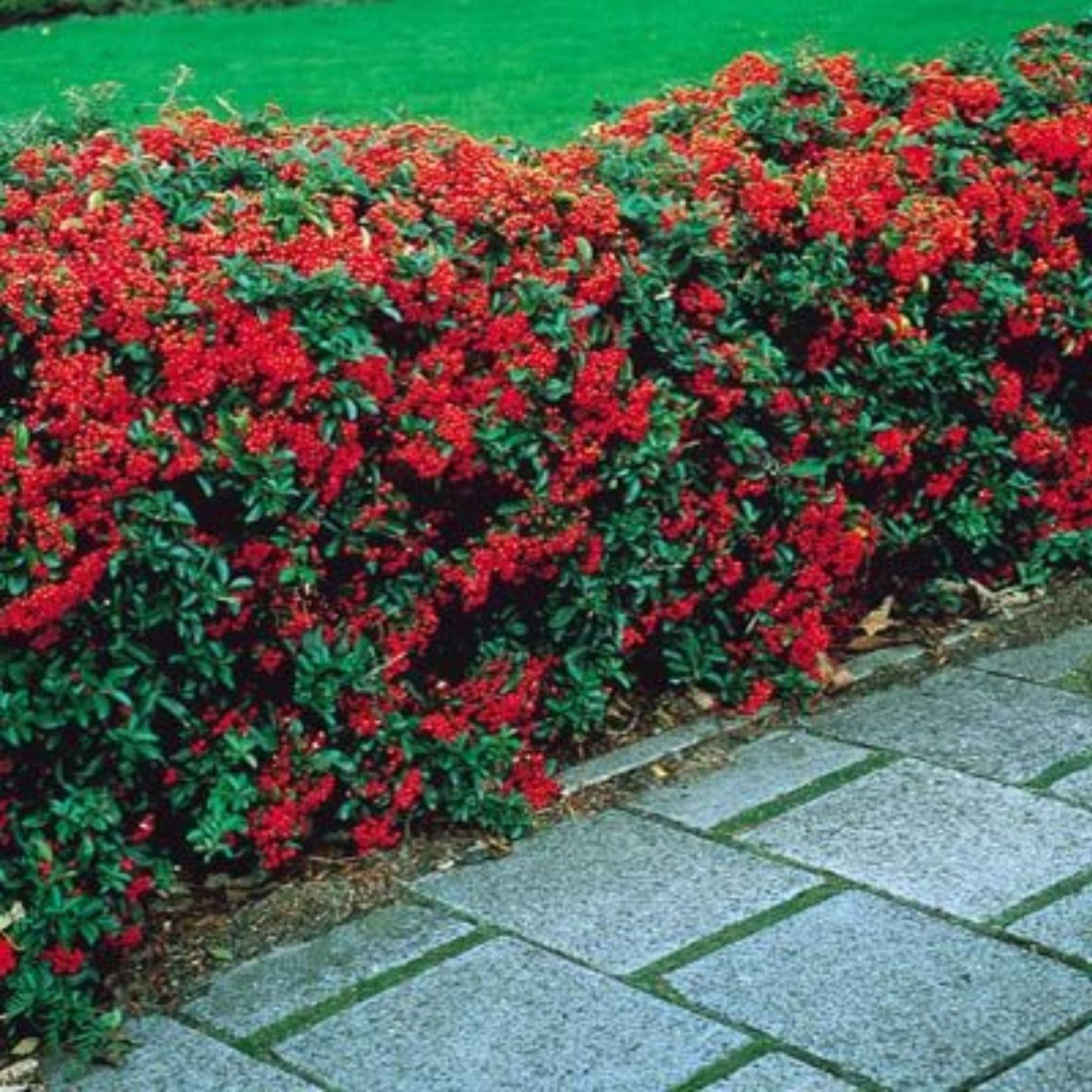 Haie De Pyracantha Pyracantha Shrub Northern Beauty Evergreen Foliage