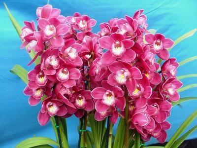 Beautifulorchidscare Com Cymbidium Orchids For Sale Monkey Orchid Beautiful Orchids