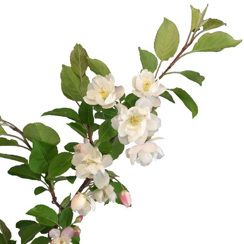 White Crab Apple Blossom Wedding Branches