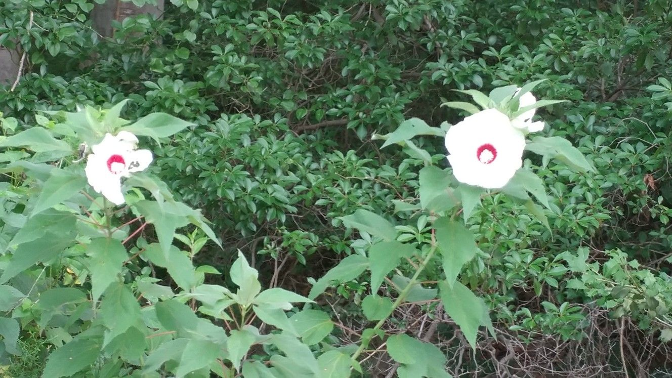 Swamp Rose Mallow Hibiscus Moscheutos Blooms Only Last One Day
