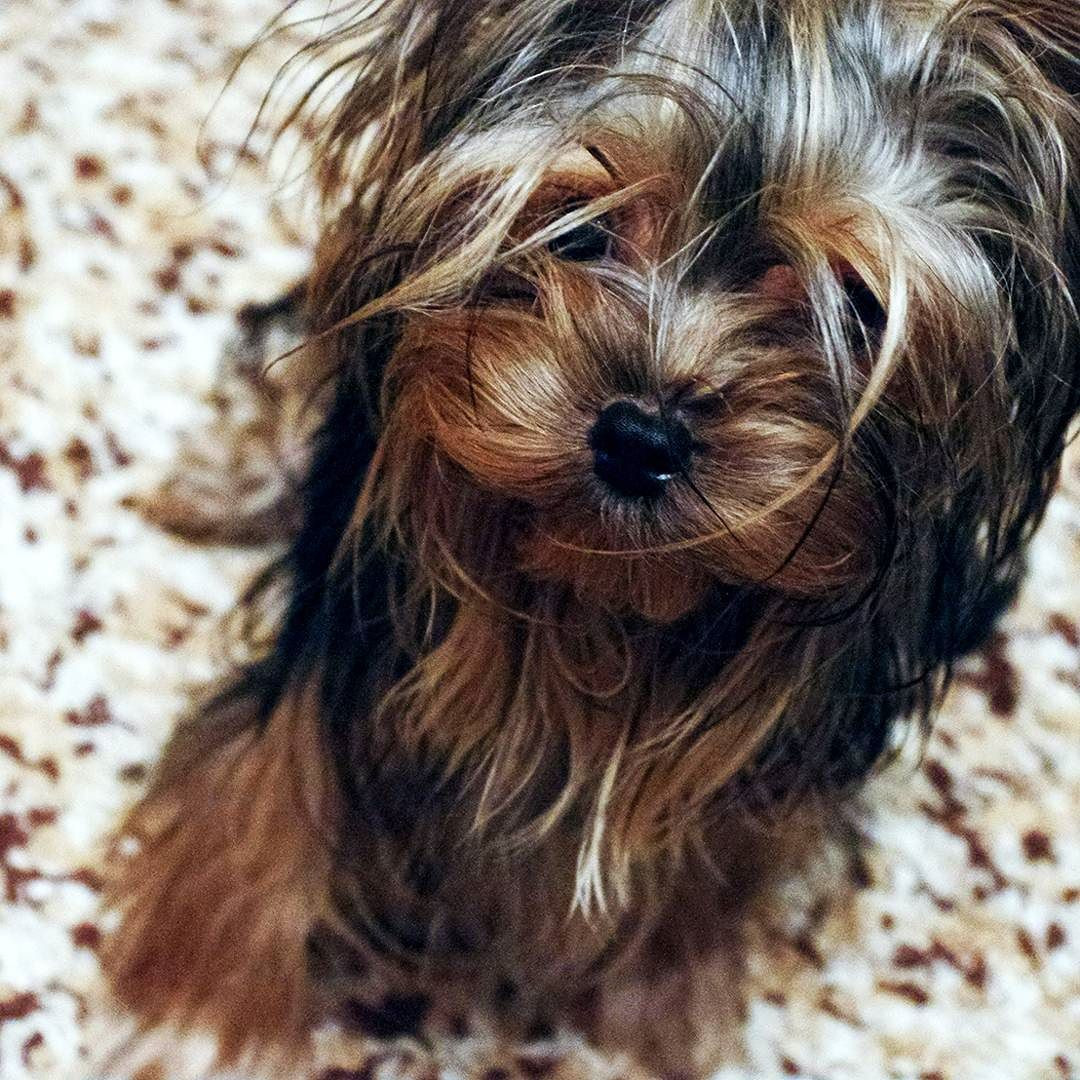 Asuka 9 M O Yorkie Yorkie Feature Yorkeez Yorkshireterrier Yorkielovers Ilovemyyorkie Pet Petstagram Dogsofins Yorkie Yorkshire Terrier Yorkie Lovers