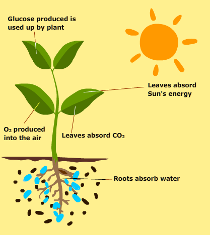 Photosynthesis is how marine plants create their own food. Plants ...