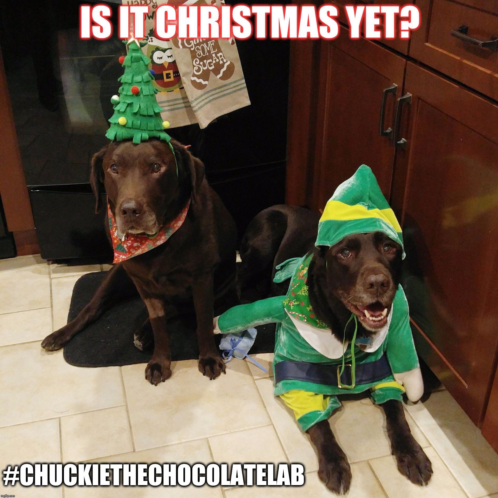 Chuckie the Chocolate Lab Cute animal memes, Funny dog