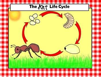 Ant clipart lifecycle and adorable ants classroom corner ant life cycle ready to print diagrams and clipart images included ccuart Images