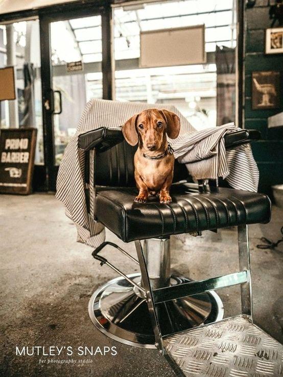 Dachshund puppy hogging the barber #cute #animals #dogs ...