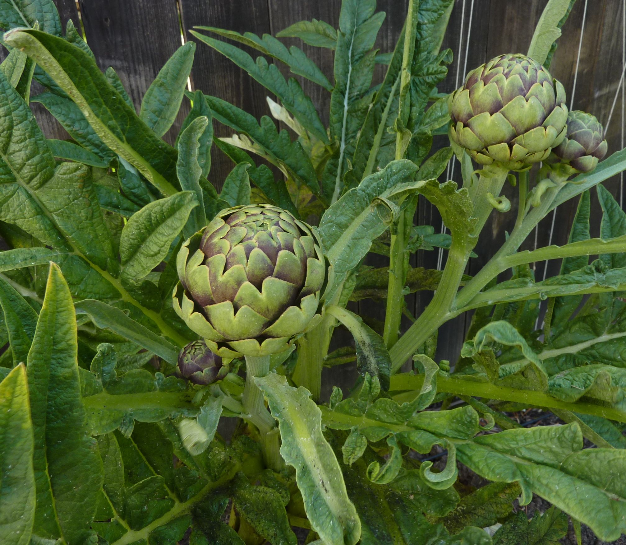 how to grow artichokes in oregon