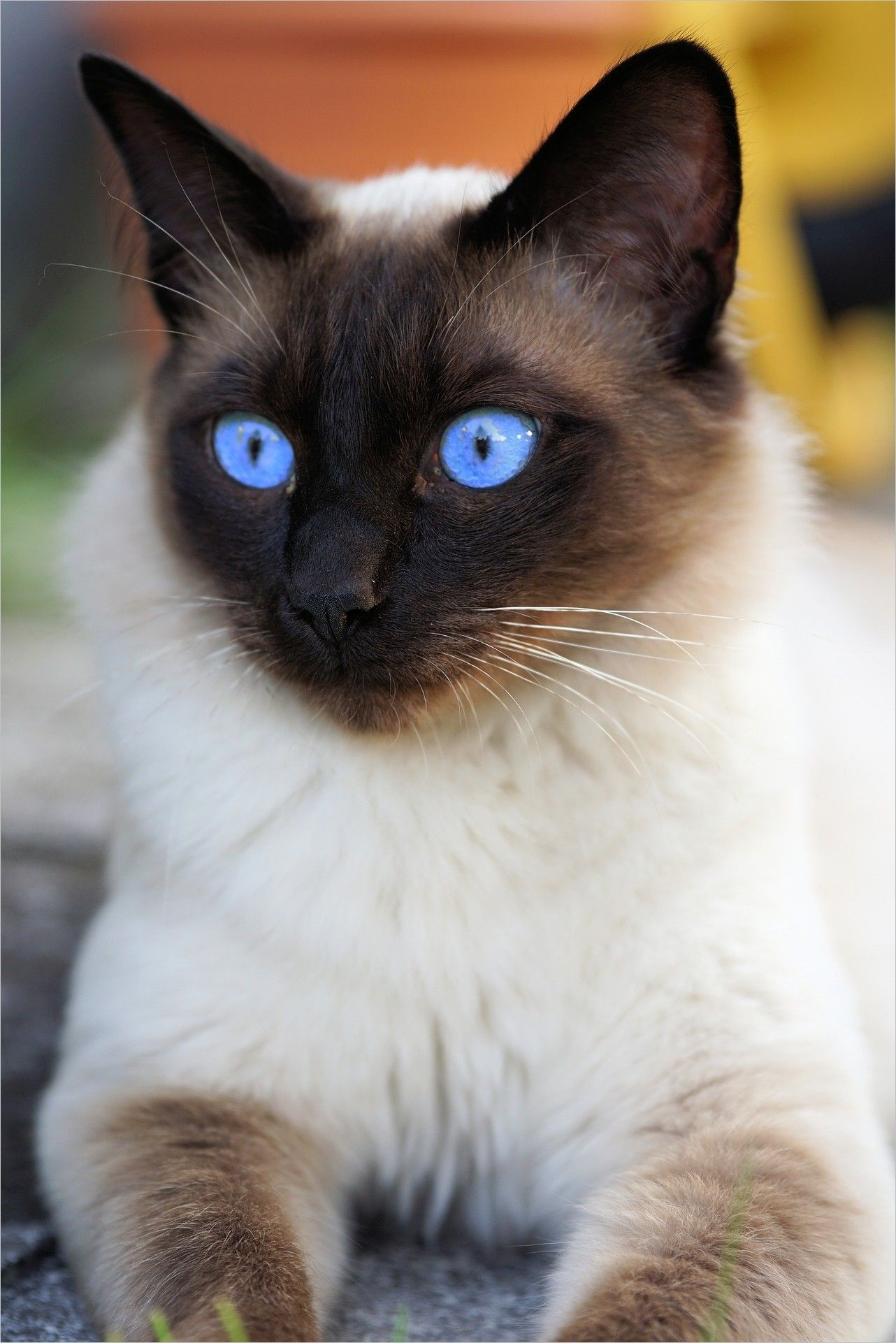 Cat Wallpaper Img Pictures Cat Eyes Siam Siamese Cat Cat Domestic Cat Mieze Breed