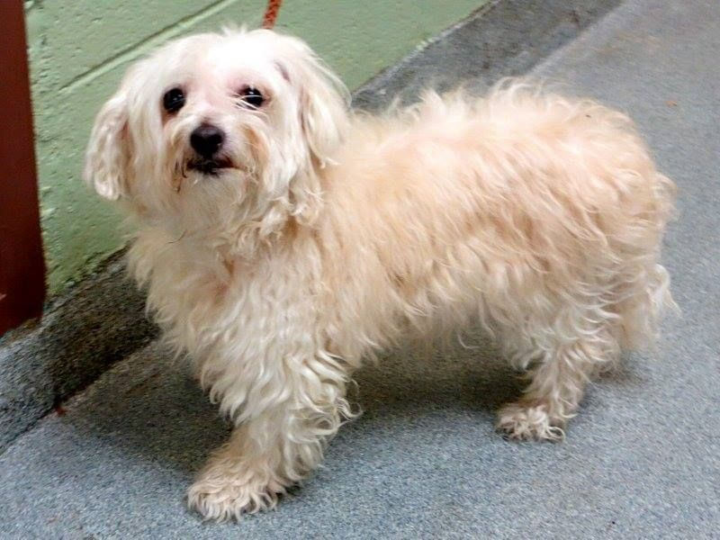 SAFE --- SUPER URGENT 1/17/14  Manhattan Center    KUCHIE CRUZ - A0989792   MALE, WHITE, MALTESE / POODLE MIN, 11 yrs  OWNER SUR - EVALUATE, NO HOLD Reason OWNER SICK   Intake condition GERIATRIC Intake Date 01/17/2014, From NY 10469, DueOut Date 01/17/2014 Main thread: https://www.facebook.com/photo.php?fbid=744040568942158&set=a.617942388218644.1073741870.152876678058553&type=3&permPage=1