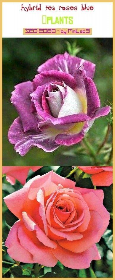 Hybrid tea roses blue hybride Teerosblue