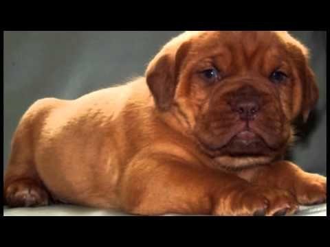 Hot Diggity Dinah Might By Chapo 1 Male Puppy Dogue De Bordeaux Http Diggitydogue Com Dogue De Bordeaux Puppies De Bordeaux