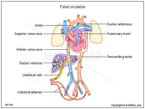 Fetal Circulation Ppt Powerpoint Drawing Diagrams Templates