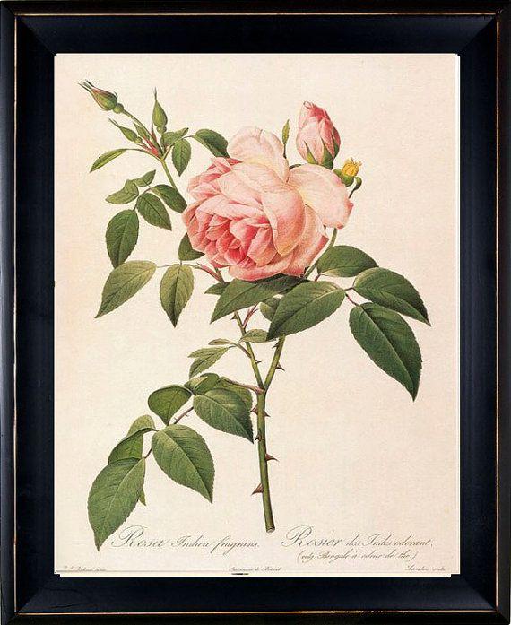 Beautiful rose botanical print