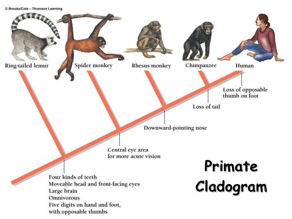 Primate Cladogram Copyright Cmassengale