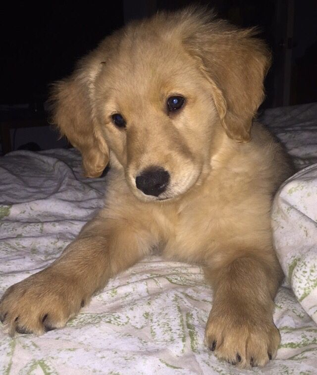 Scout 8 Weeks Old Purebred Golden Retriever Female