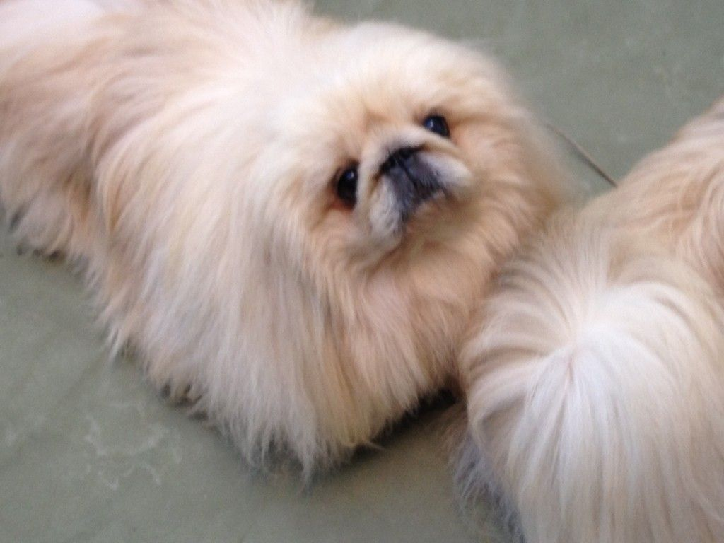Ice Cream and Dogs: Is it Good for your Pekingese? | I LOVE