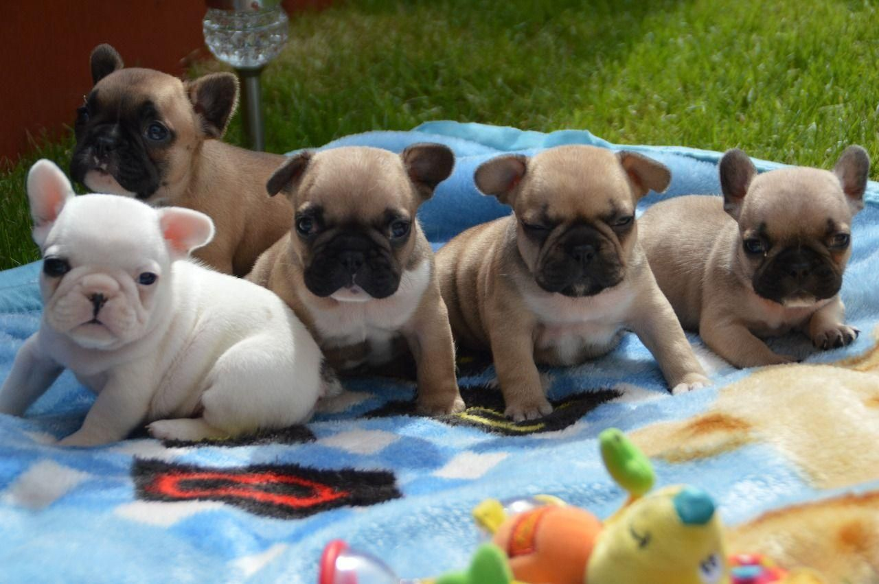 Kc French Bulldog Puppies Whatsapp Me 237654340446 Bulldog