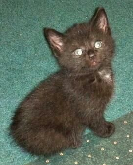 This Is Ace He S An 8 Week Old Manx Kitten Manx Kittens Bobtail Cat Cats And Kittens
