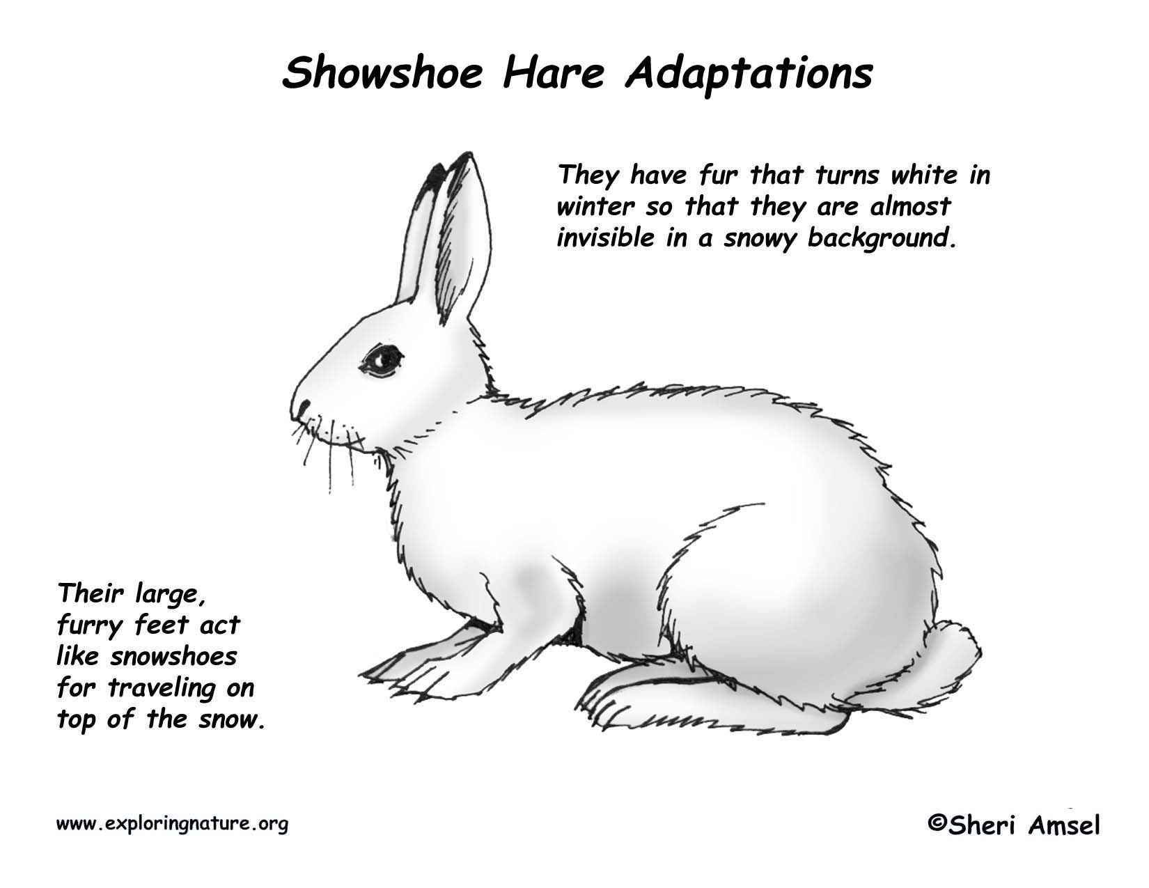 Arctic Hare Clipart Line Drawing 8 1650 X 1275 Free Clip Art