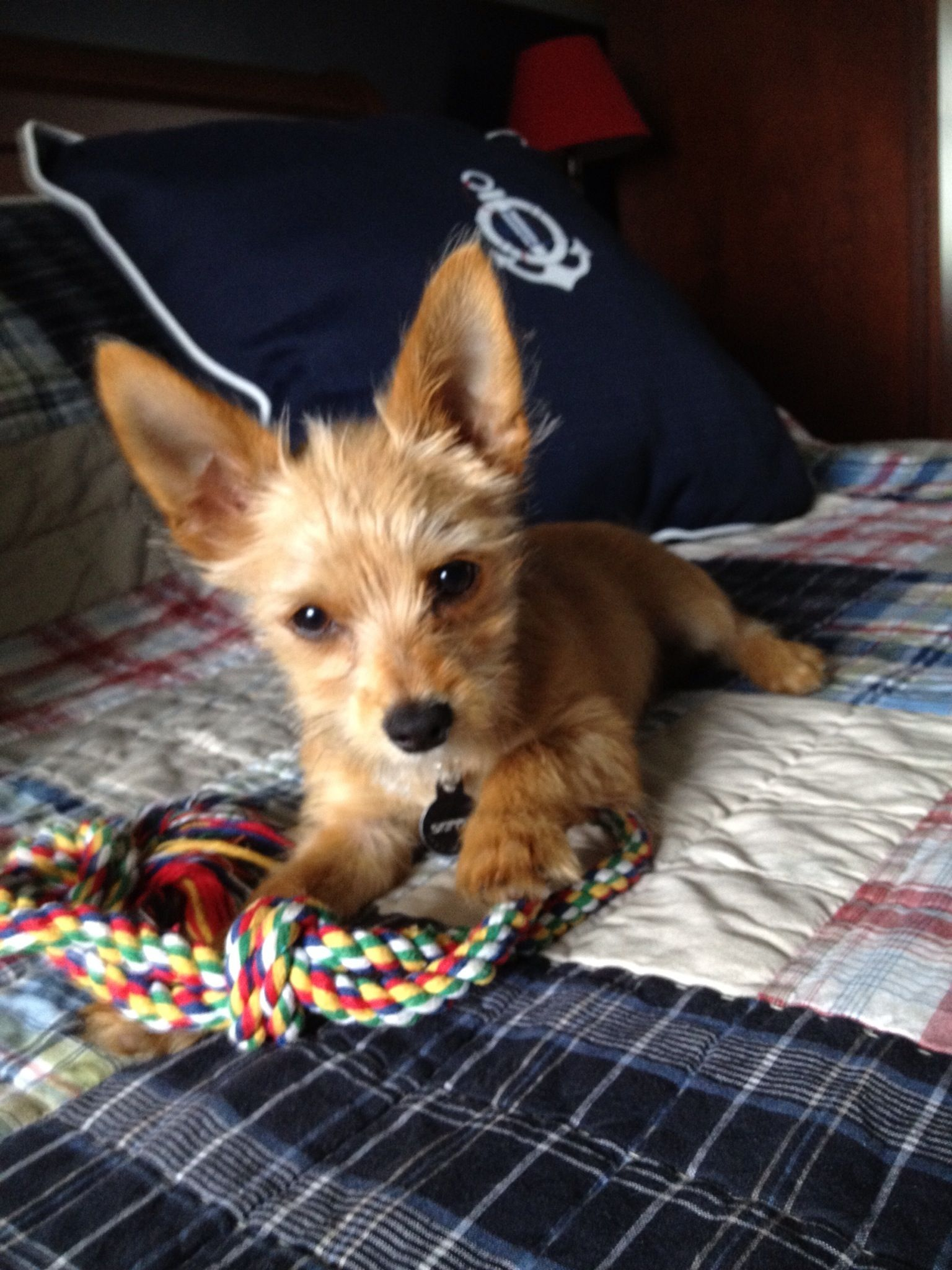 AWWW! This chorkie looks like my dog Pippin as a puppy