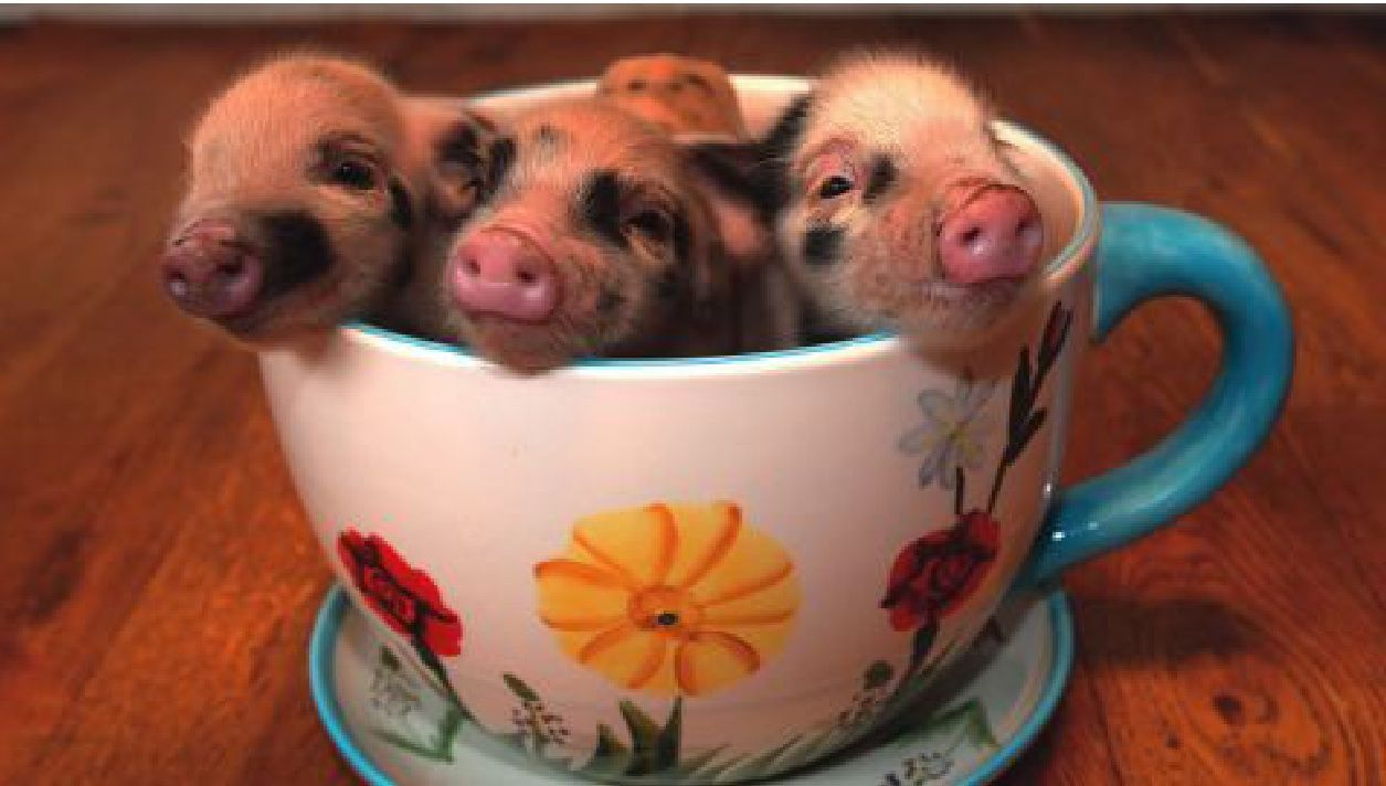 Teacup Pigs by Aliza Rojas