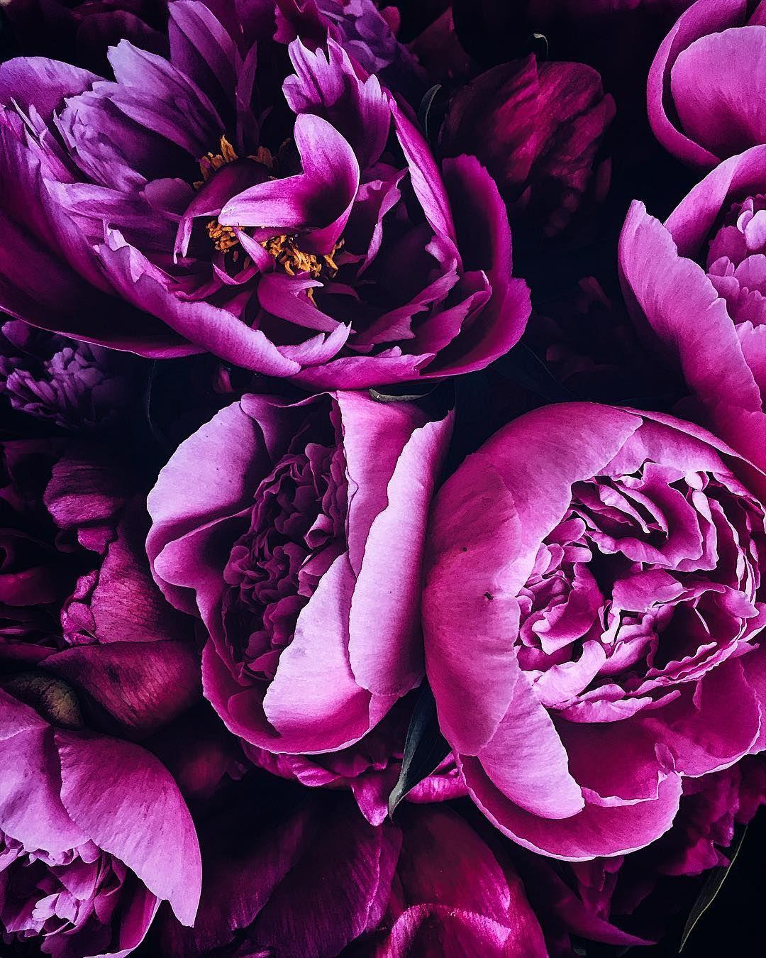 фиолетовые пионы картинки одно магические