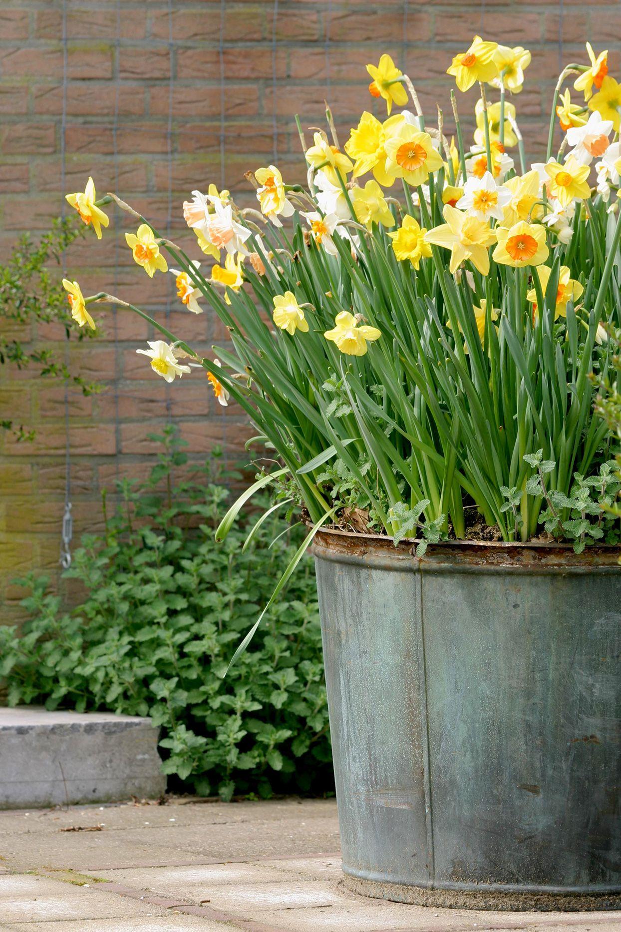 Daffodil Garden Acreage Landscaping Daffodil Gardening Landscape