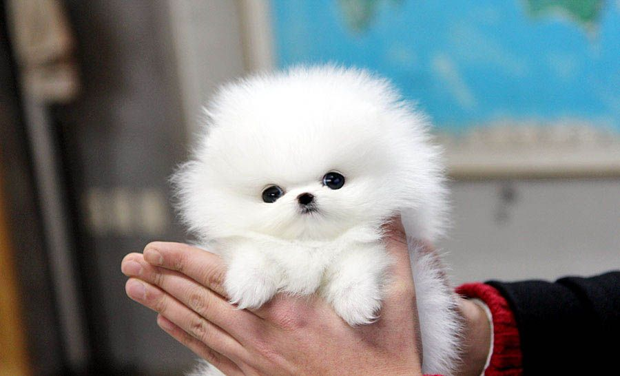 How Much Is A White Pomeranian Puppy 2021