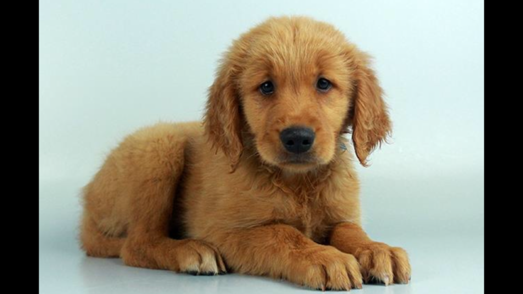 Golden Retriever World Wide Puppies Golden Retriever Retriever Puppies