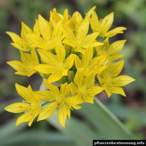 gelb bl hende pflanzen und blumen bestimmen deko pinterest blumen pflanzen und bl hende. Black Bedroom Furniture Sets. Home Design Ideas