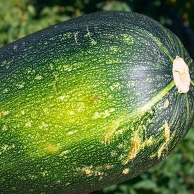 Growing Zucchini On A Trellis: Zucchini Can Be Trained To Climb Up A Trellis.
