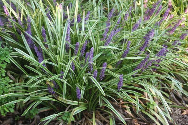 Liriope Muscari Variegata This Plant Is Great And Can Be Used In