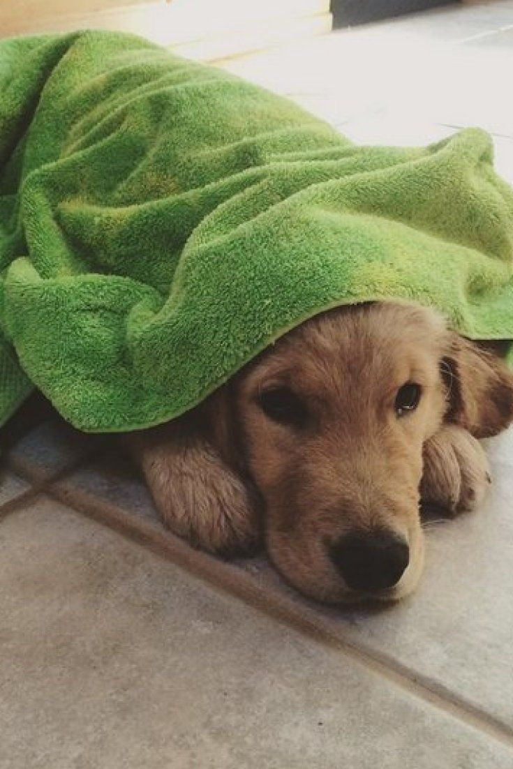 This Puppy Gives Himself A Bath And Towels Off Every Day Golden