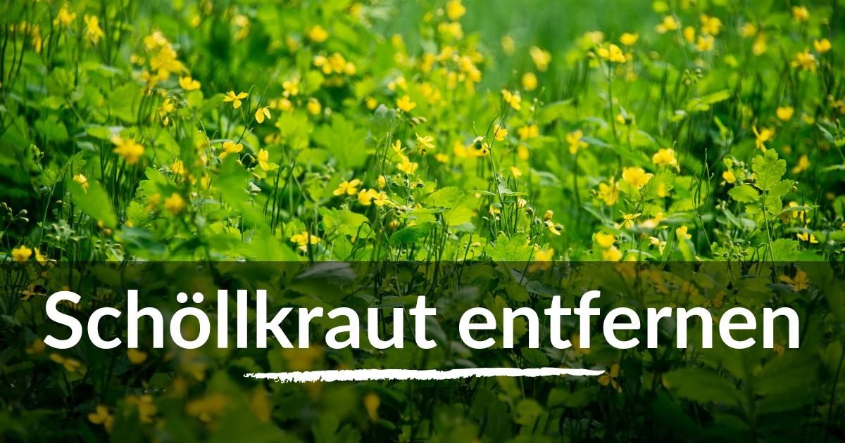 Schollkraut Dauerhaft Entfernen Fuxtec Gartenratgeber Unkraut Im Garten Schollkraut Garten