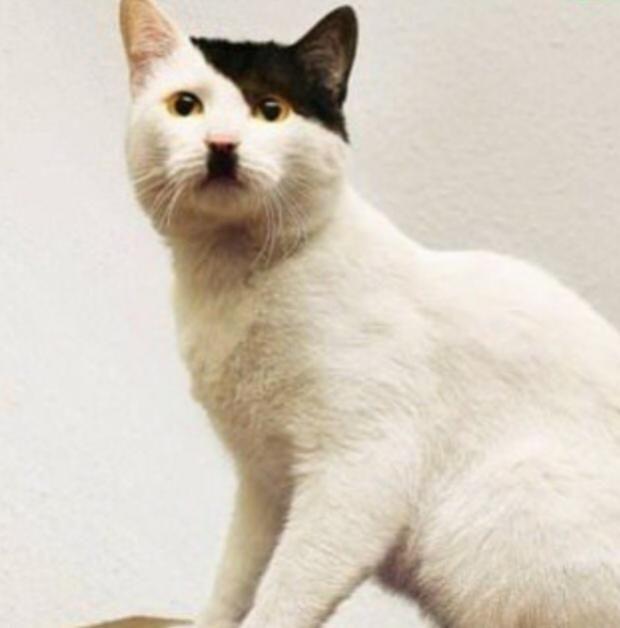 Hitler cat Meme Template funny stuff Pinterest Cats