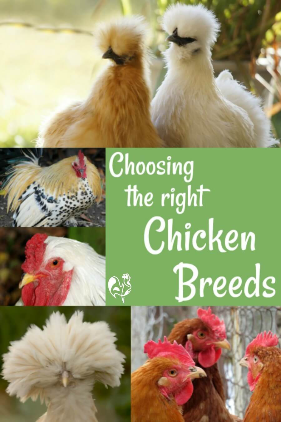 Backyard chicken breeds with pictures! in 2020