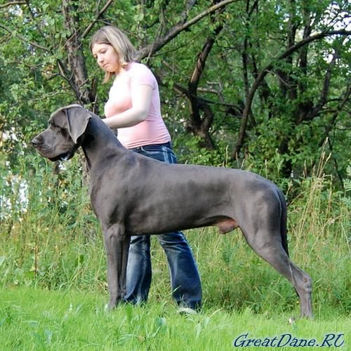I Need A Great Dane Too They Are Amazing Dogs With Images