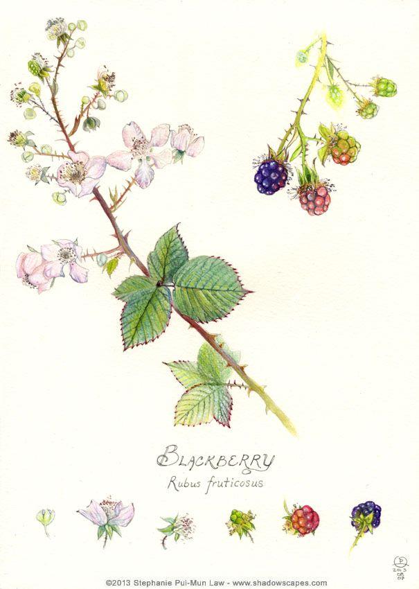 Blackberry - http://www.shadowscapes.com - https://www.facebook.com/Shadowscapes