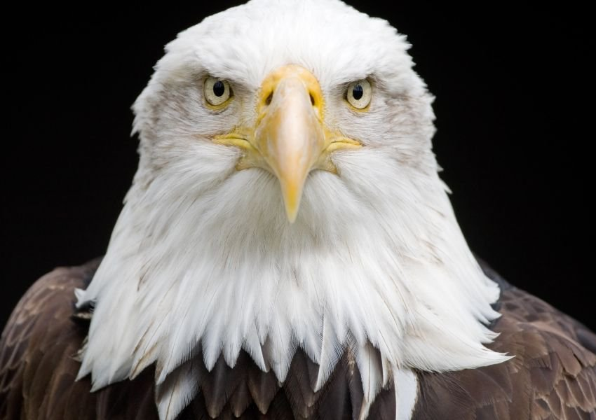 Credit Andyworks Istockthis Is A Reversal From Most Of What We Know About The Animal Kingdom Typically The Bald Eagle Bald Eagle Pictures Eagle Head Tattoo